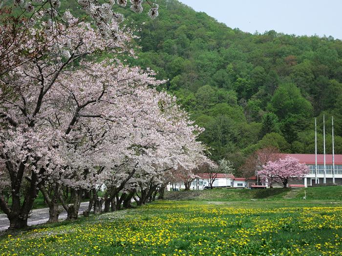 洞爺湖 桜とタンポポ