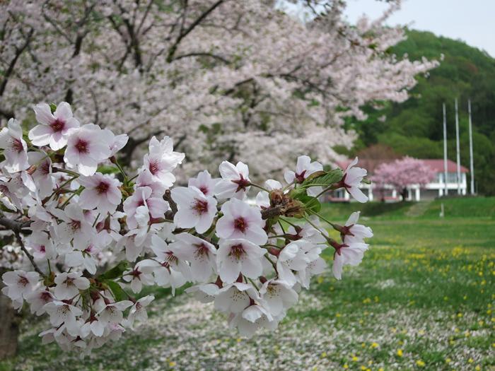 洞爺湖 桜なとタンポポ