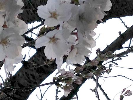 久我山 桜 140329