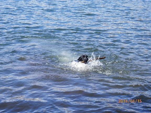 黒ラブの水遊び