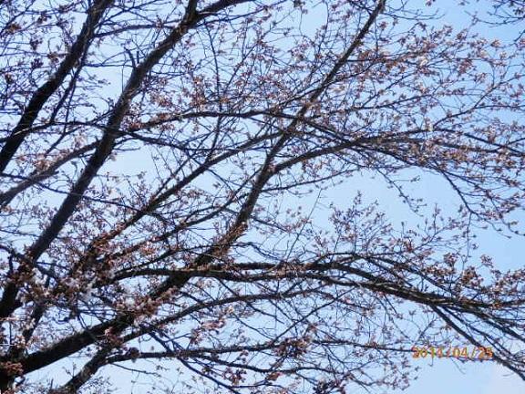 役場前 桜 4/25
