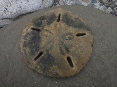スカシカシパンの殻