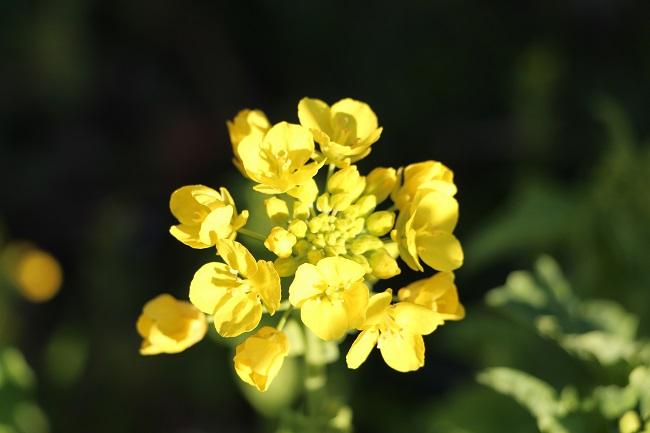IMG_5537菜の花