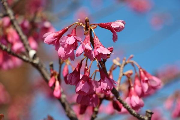 IMG_5904琉球桜