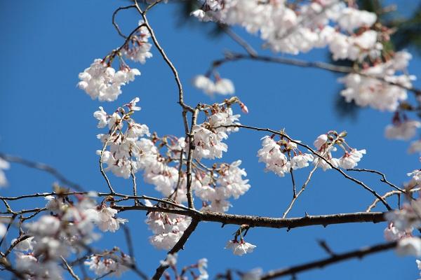 IMG_5909桜