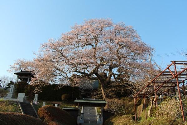 IMG_5928寺 桜