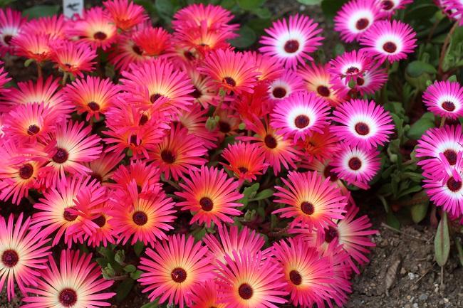 IMG_5951マツバ菊