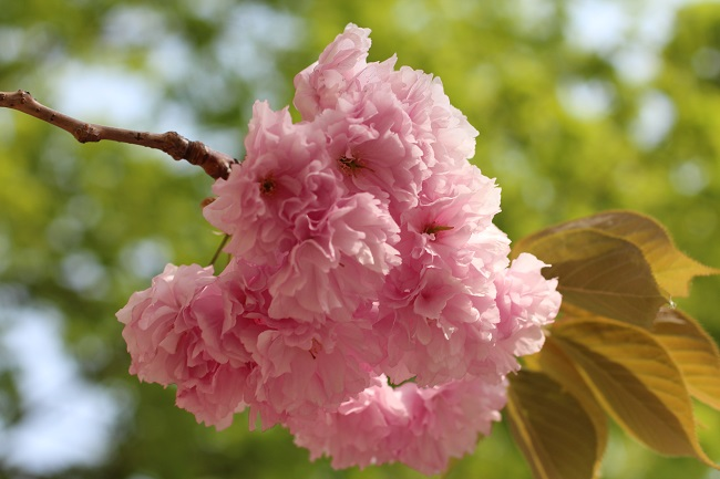 IMG_5960八重桜
