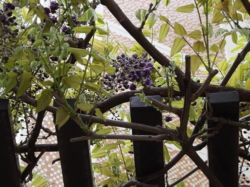 DSCF1417黒龍フジの開花