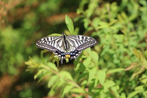 IMG_6226今年初めての蝶