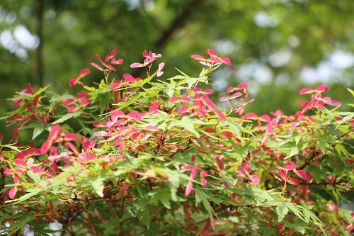 IMG_6245紅葉の花