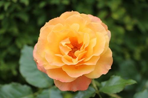 IMG_6503 my gardenn;rose
