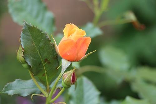 IMG_6505my garden rose