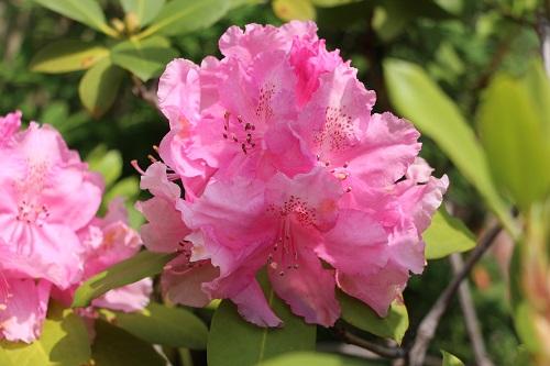 IMG_6527石楠花