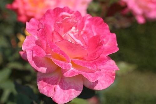 IMG_8518 s リオ・サンバ 開花につれ花色変化