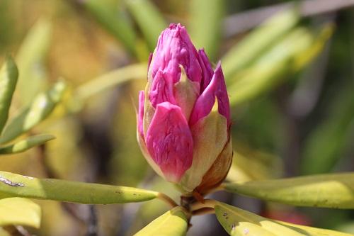 石楠花 蕾
