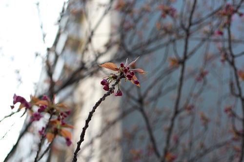 八重桜 蕾膨らむ