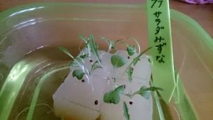 2014-02-27 水菜 定植前