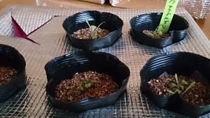 2014-02-27 水菜 定植