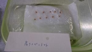 2014-03-05 トマト 催芽蒔き (2)