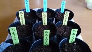 2014-03-13 トマト 種蒔き