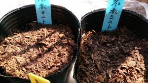 2014-03-22 赤ミニトマト 発芽失敗