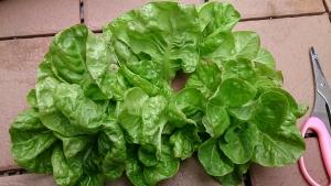 2014-03-30 サラダ菜 収穫・撤収 (4)