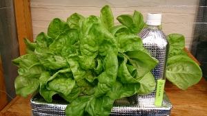 2014-04-05 サラダ菜 収穫 (1)