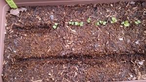 2014-04-05 カブ 空いた所に再種蒔き