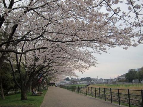 新横浜の桜並木3