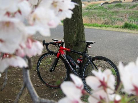 新横浜の桜並木2