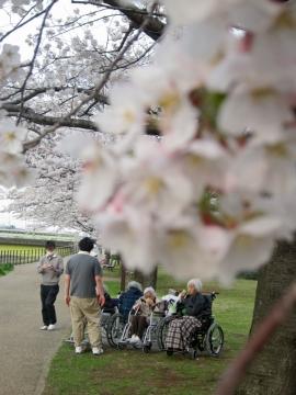 新横浜の桜並木1
