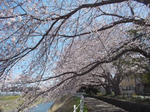 境川の桜並木2