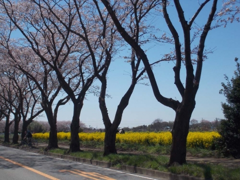 海軍道路の桜並木2