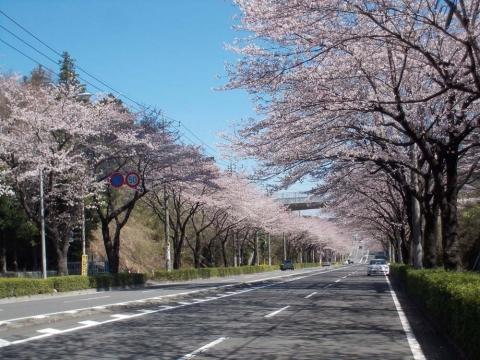 横浜市環状4号の桜並木2