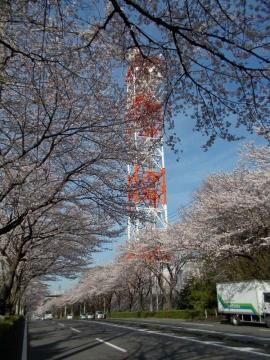 横浜市環状4号の桜並木