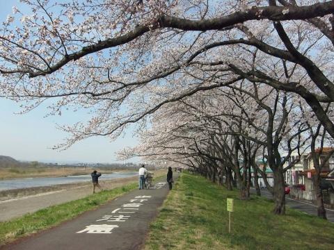 睦橋上流の桜並木