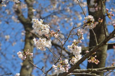 20140331小林牧場の桜04