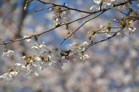 20140331小林牧場の桜03