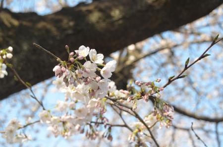 20140331小林牧場の桜02