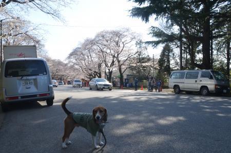 20140331小林牧場の桜10