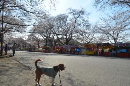 20140331小林牧場の桜08