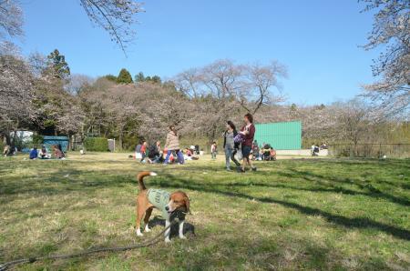 20140331小林牧場の桜17
