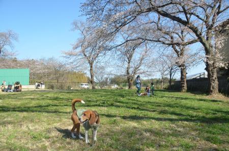 20140331小林牧場の桜16