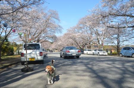 20140331小林牧場の桜22