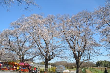 20140331小林牧場の桜20