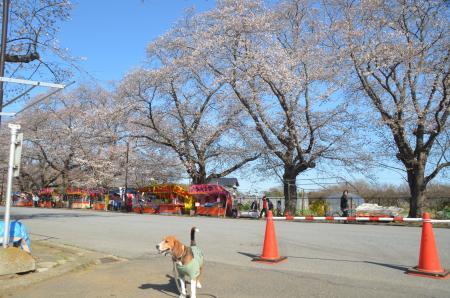 20140331小林牧場の桜21