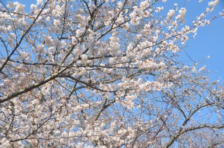 20140331小林牧場の桜19