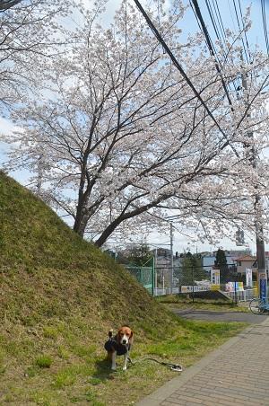 20140402佐倉城址公園03