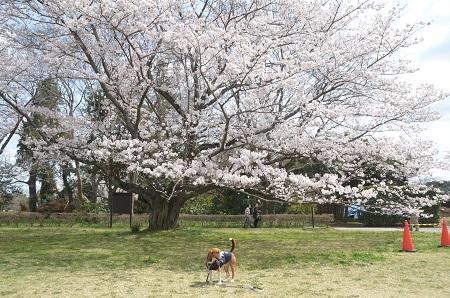 20140402佐倉城址公園25